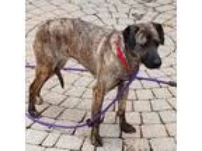 Adopt Rye a Brindle Catahoula Leopard Dog / Beagle / Mixed dog in Avon
