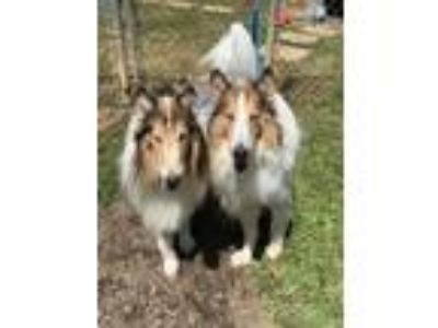 Adopt Pharaoh and Laddie a Tan/Yellow/Fawn - with White Collie / Mixed dog in