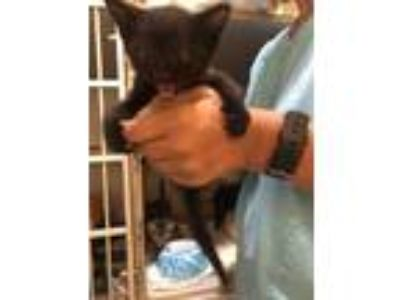Adopt Meow Meow a All Black Domestic Shorthair / Domestic Shorthair / Mixed cat