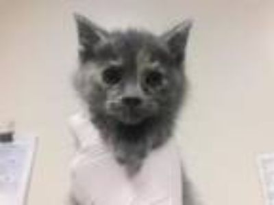 Adopt Peep a Domestic Medium Hair, Domestic Short Hair