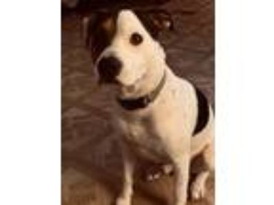Adopt Finn a White - with Brown or Chocolate American Staffordshire Terrier /