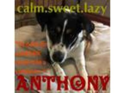 Adopt Anthony a Labrador Retriever, Beagle