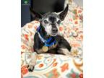 Adopt Pee Wee a Black - with Tan, Yellow or Fawn Miniature Pinscher / Mixed dog