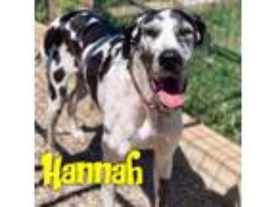 Adopt Hannah a White - with Black Great Dane / Mixed dog in Windsor
