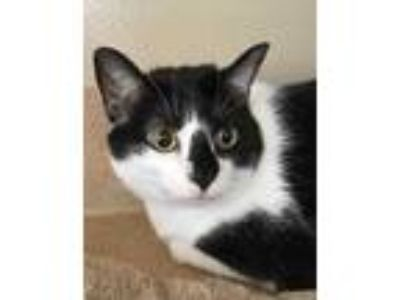 Adopt Squeaky 658-19 a White Domestic Shorthair / Domestic Shorthair / Mixed cat
