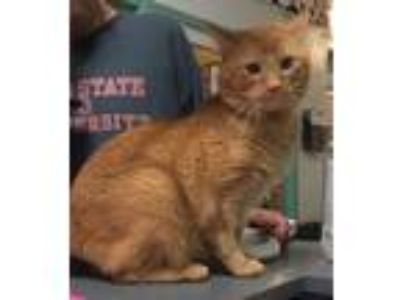 Adopt Lasagna a Orange or Red Domestic Shorthair / Mixed (short coat) cat in