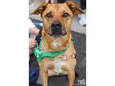 Adopt Beauman a Tan/Yellow/Fawn Labrador Retriever / Mixed dog in Washington