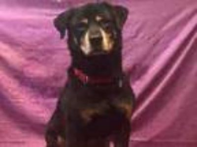 Adopt BRUNO a Mixed Breed, Rottweiler