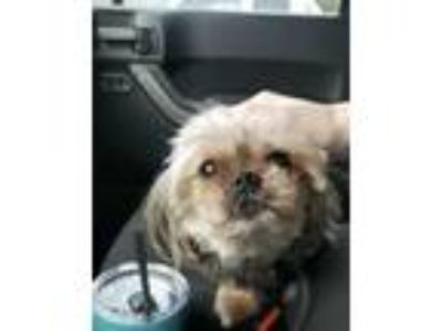 Adopt Cooper a Shih Tzu / Mixed dog in Washington, DC (25872741)