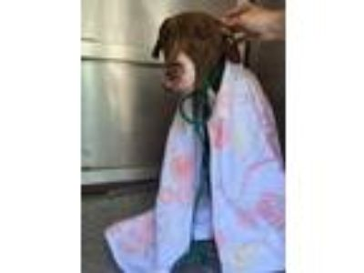Adopt TWIGGY a Pit Bull Terrier, Mixed Breed
