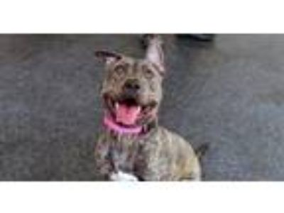 Adopt Toffee a Brindle - with White American Pit Bull Terrier / Mixed dog in New