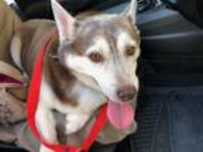 Adopt Bella a Brown/Chocolate - with White Corgi / Husky / Mixed dog in San Juan
