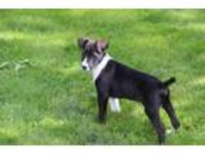Adopt Callie a Plott Hound, Border Collie