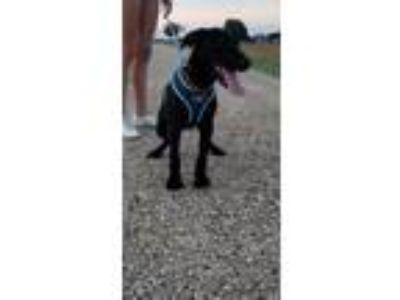 Adopt Coal a Black Labrador Retriever / Mixed dog in Dallas/Fort Worth