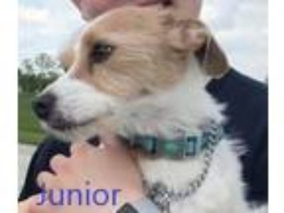 Adopt Junior a Terrier