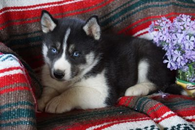 Siberian Husky PUPPY FOR SALE ADN-94840 - AKC Siberian Husky For Sale Male Corey