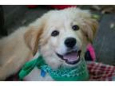 Adopt 190623 Everest a Great Pyrenees
