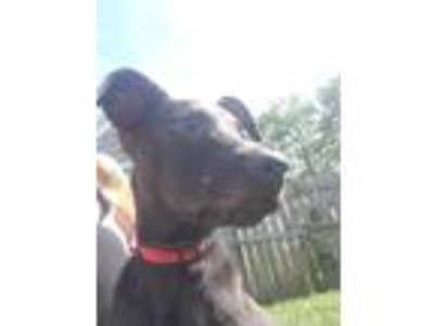 Adopt Neo a Labrador Retriever / Pit Bull Terrier / Mixed dog in Laingsburg