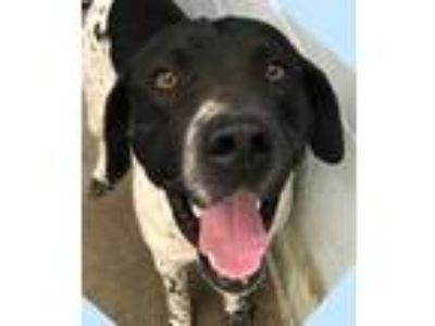 Adopt Oreo a White - with Black Labrador Retriever / Setter (Unknown Type) /