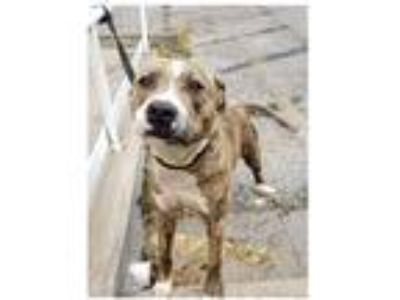 Adopt Bailey a American Staffordshire Terrier / Mixed dog in Commerce