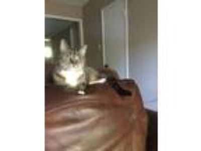 Adopt Queen a Gray, Blue or Silver Tabby Domestic Shorthair / Mixed cat in