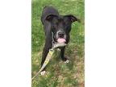 Adopt Sally a Black - with White Labrador Retriever / Mixed dog in Effort