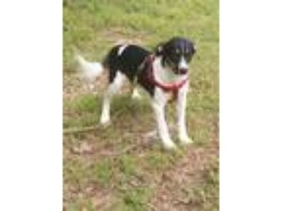 Adopt Star a White - with Black German Shepherd Dog / Beagle dog in Somers