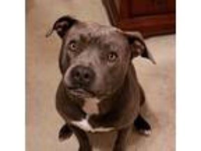 Adopt Rhea a Gray/Silver/Salt & Pepper - with White American Pit Bull Terrier