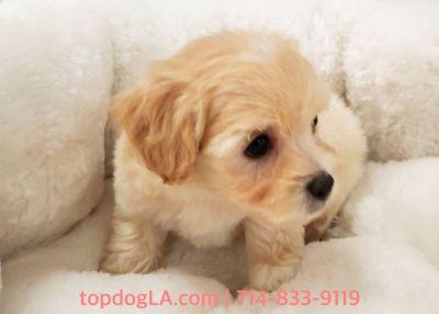 Maltipoo Puppy - Male - Webber ($1,250)