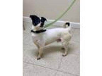 Adopt Bobby a Jack Russell Terrier, Pug