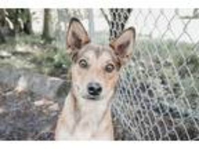Adopt Theo a Shepherd, Cattle Dog