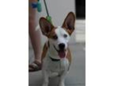 Adopt Lizbeth a Tan/Yellow/Fawn - with White Basset Hound / Husky / Mixed dog in