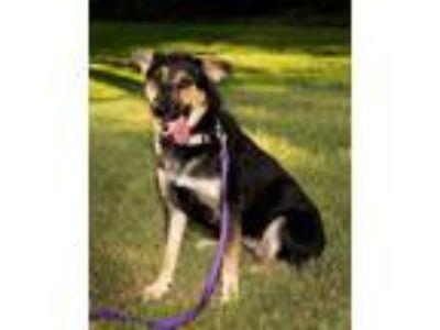 Adopt Abbey a Brown/Chocolate - with Black German Shepherd Dog / Rottweiler dog