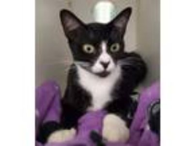 Adopt Oriole a Domestic Short Hair