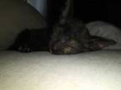 Adopt Tortietha a All Black Domestic Shorthair / Domestic Shorthair / Mixed cat