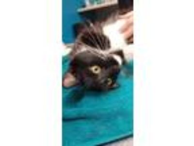 Adopt August a Domestic Short Hair