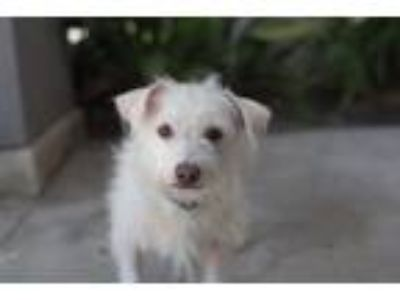 Adopt Snowball a White Terrier (Unknown Type, Small) / Mixed dog in Encino
