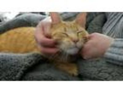 Adopt Morrie a Domestic Short Hair, Tabby