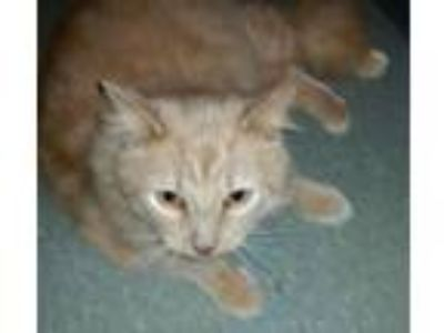 Adopt TANGO. (JIMMY) a Maine Coon, Tiger