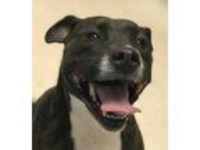 Adopt Bella 2 a Brindle American Pit Bull Terrier / Boxer / Mixed dog in