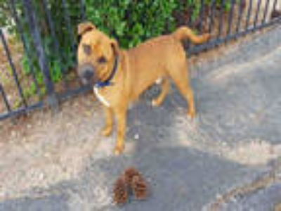 Adopt a Red/Golden/Orange/Chestnut - with Black American Pit Bull Terrier /