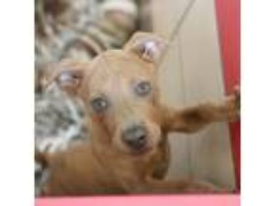 Adopt Cosmo a Brown/Chocolate American Staffordshire Terrier / Mixed dog in