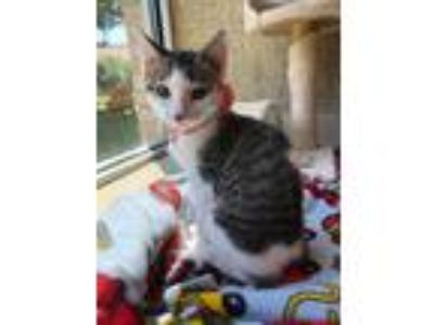 Adopt Ronda Rousey a Gray or Blue Domestic Shorthair / Mixed cat in Merriam