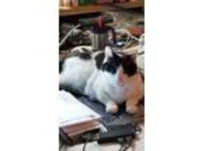 Adopt Bandit a Black & White or Tuxedo Calico / Mixed cat in San Jose