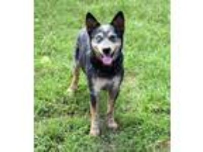 Adopt Stray:Venable,CR:06-27 a Black Australian Cattle Dog / Mixed dog in