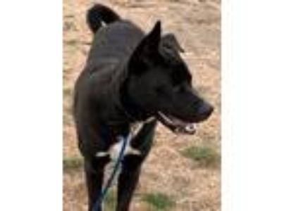 Adopt Arseni a Black - with White Labrador Retriever / Great Dane dog in