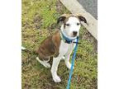 Adopt Cinnamon Lonestar RM a Brindle - with White Beagle / Terrier (Unknown