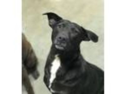 Adopt ** Suzy the Clown ** a Black - with White Labrador Retriever / Golden
