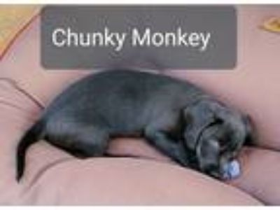 Adopt Chunky Monkey * a Gray/Blue/Silver/Salt & Pepper Terrier (Unknown Type