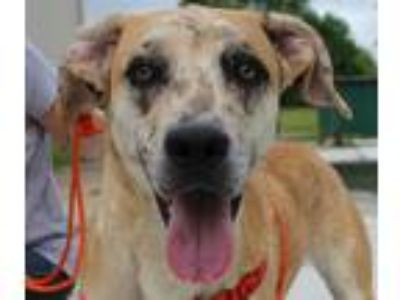 Adopt Hunter a Tan/Yellow/Fawn - with White Catahoula Leopard Dog / Hound